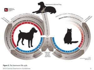 Image - Life Cycle for Heartworm