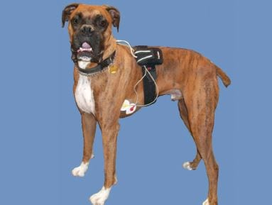 Boxer dog showing appropriate Holter monitor placement.
