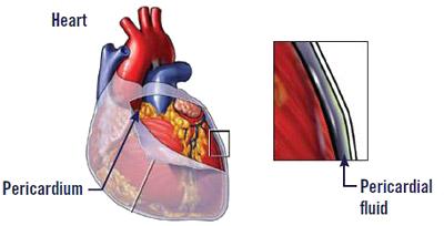Heart Pericardium diagram
